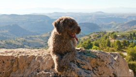 Spanish Water Dog to the Rescue