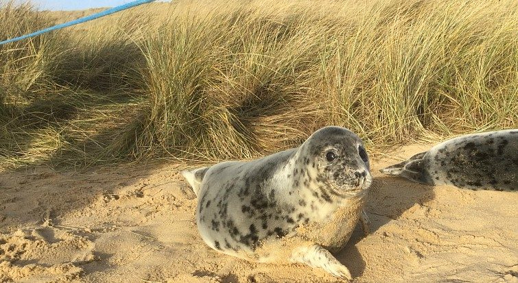 Seals and dogs on Norfolk beaches